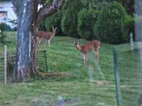 Deer Playing 2013JULY04