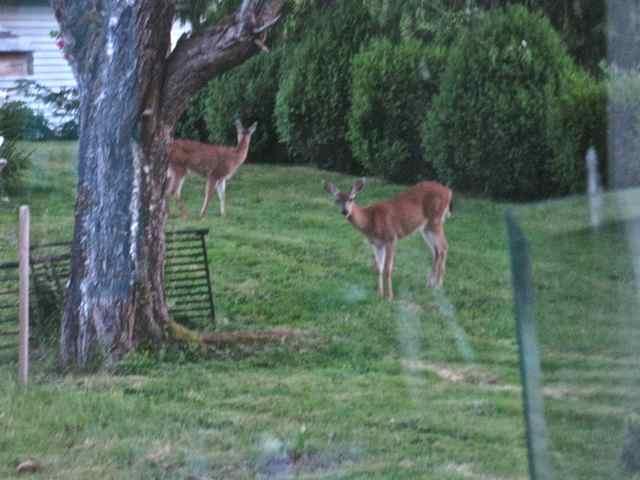 Deer Playing 2013JULY04