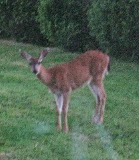 deer small crop